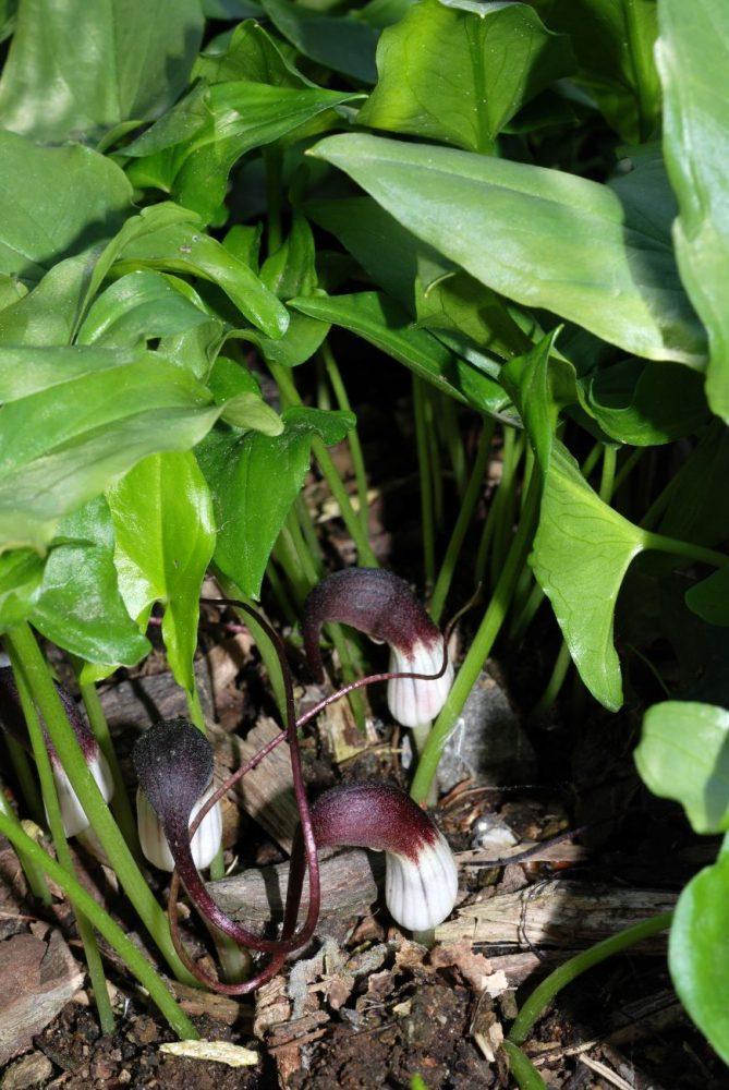 Arisarum proboscideum inflorescences mousetail plant