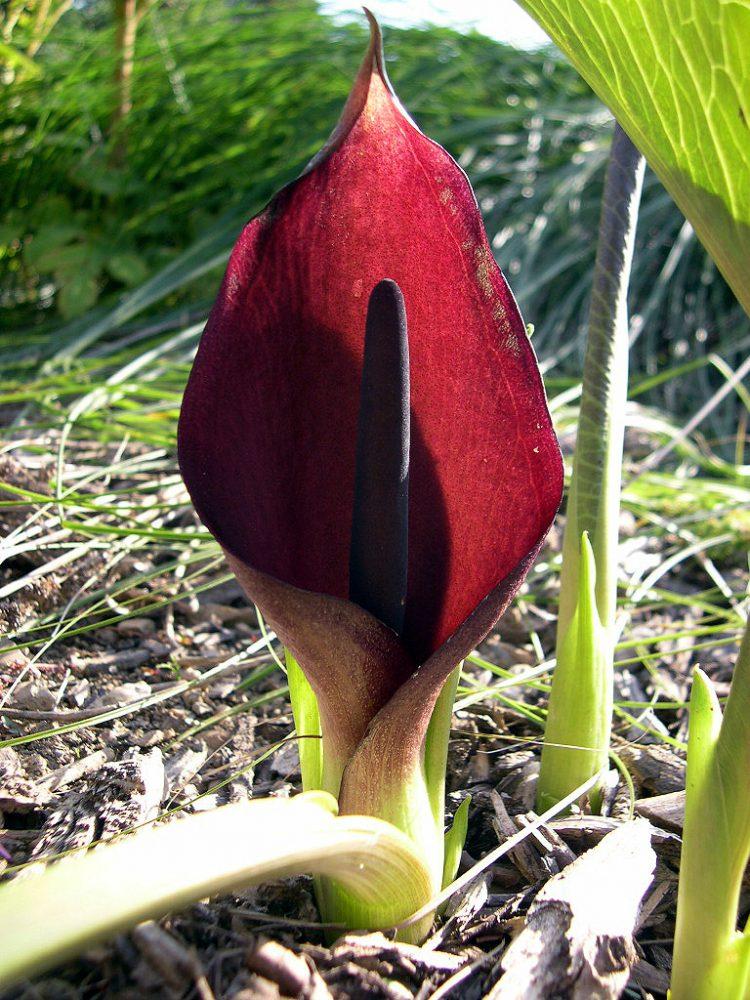 Gymnomesium pictum arum flower bloom inflorescence