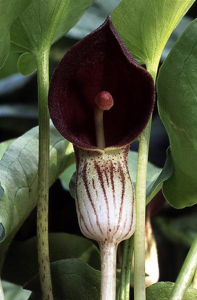 Arisarum simorrhinum inflorescence